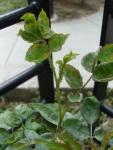 aphids galore