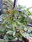 a sick roseplant