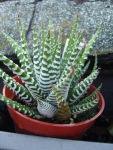 Haworthia attenuata 'ZebraPlant'
