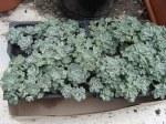 Sedum Cape Blanco or SedumSpathulifolium