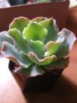 Echeveria Crinoline Ruffles