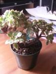 Aeonium Suburst Cristata