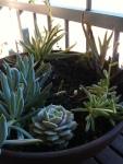 Henrik's Succulent Arrangement – Echivera, Little Pickles, and Blue ChalkCloseup