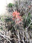Castilleja wightii (Seaside Paint Brush or Indian PaintBrush)