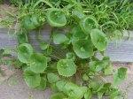 Claytonia perfoliata (Miner's lettuce, Winter Purslane, Spring Beauty, or Indianlettuce