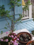 Rosa Californica, Armeria Maritima, Native CA SucculentArrangement