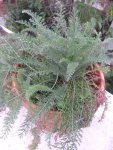 Native Califnornia Yarrow
