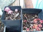 """Sedum Spathulifolium Purpurea and Sedum album """"CoralCarpet"""""""