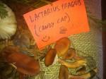 Lactarius Fragius (Candy Cap)